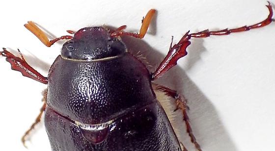 May Beetle - Phyllophaga hirtiventris