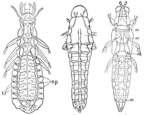 Tracheal System Of Insects Diagram Bugguide
