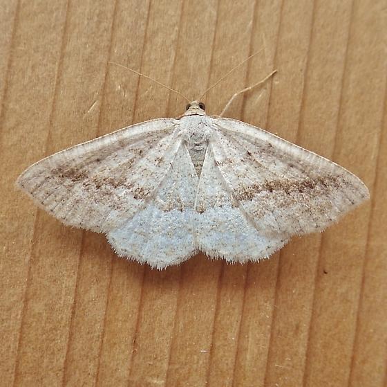Geometridae: Unknown Specimen - Tacparia detersata
