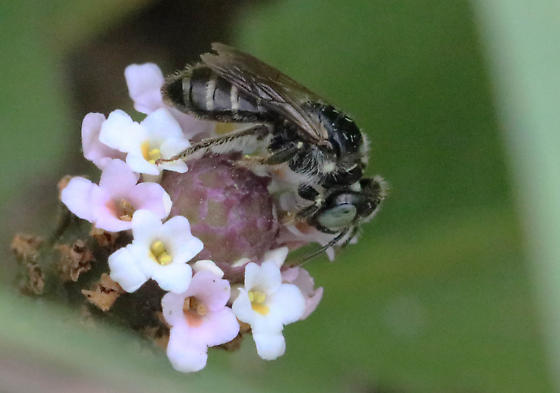 another Calliopsis andrenifomis female? - Calliopsis andreniformis - female