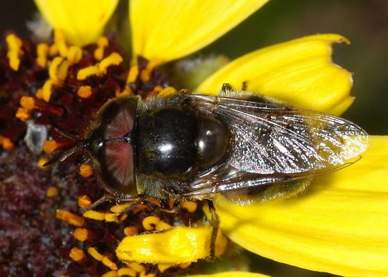Dark Syrphid - Copestylum lentum - male