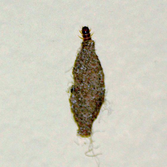 Case-bearing moth larva - Phereoeca fallax - Phereoeca uterella