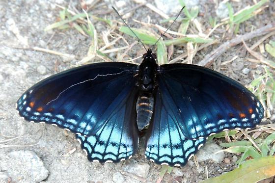 Blue Butterfly - Limenitis arthemis