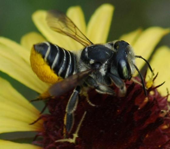 Megachile bee? on Indian Blanket flower - Megachile petulans - female