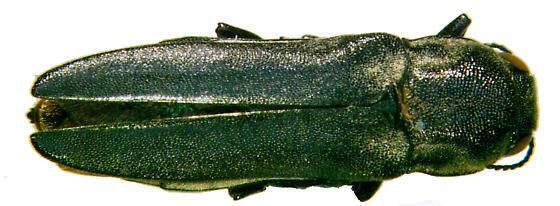 Agrilus muticus LeConte - Agrilus muticus - male