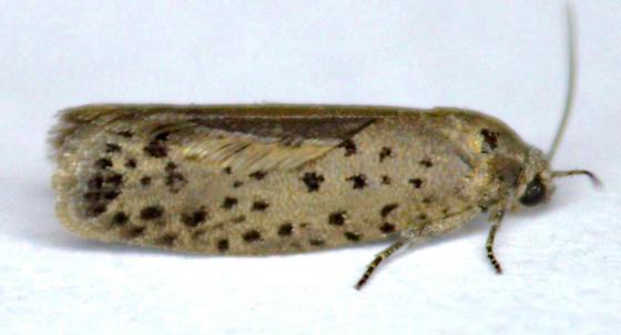 Moth - Homadaula anisocentra