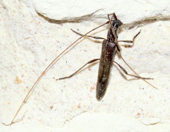 Please help us to identify this guy. - Styloxus fulleri