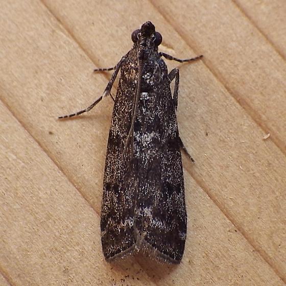 Pyralidae: Pyla fusca