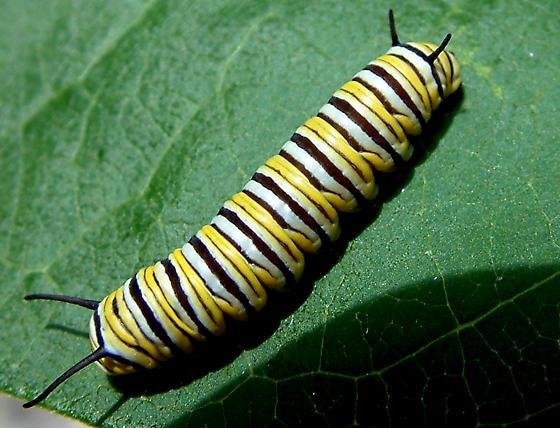 Monarch Caterpillar? - Danaus plexippus