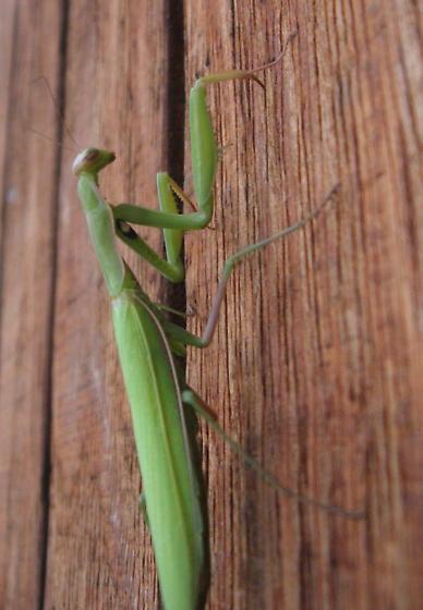 Mantis religiosa 01a - Mantis religiosa