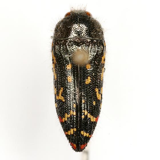 Acmaeodera rubronotata Laporte & Gory - Acmaeodera rubronotata