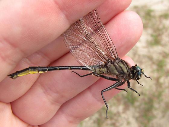 Clearlake Clubtail - Phanogomphus australis - male