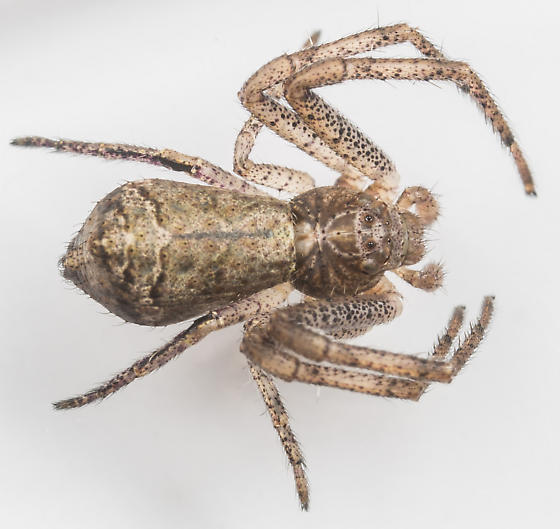 Tmarus angulatus - female