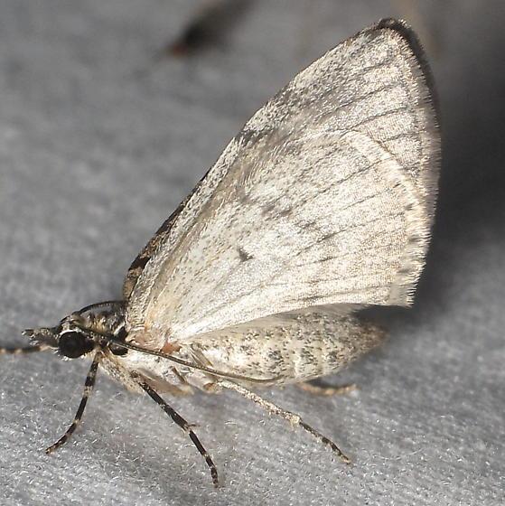 Unid. Moth 2 - Stamnodes