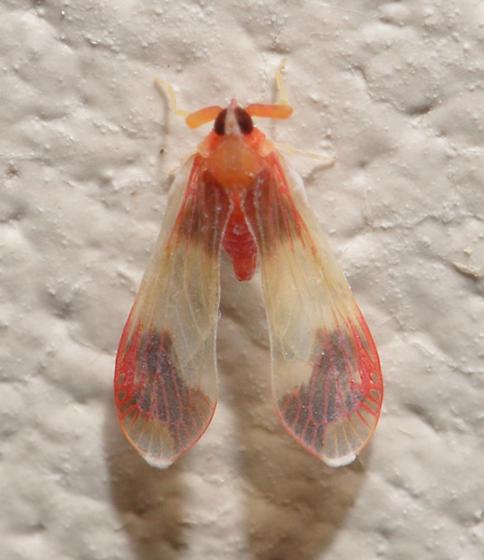 Tiny orange and red moth - Anotia uhleri