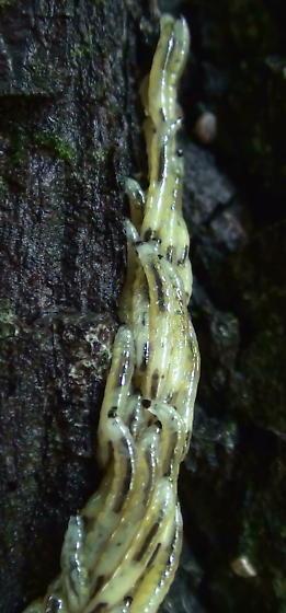 Gadzooks!  Are these Sawfly Larvae?
