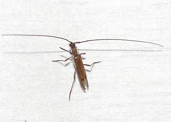 Small Longhorn Beetle? - Styloxus fulleri