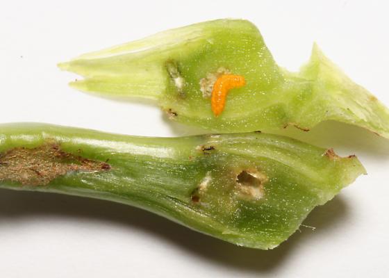 Cecidomyiinae in Jewelweed