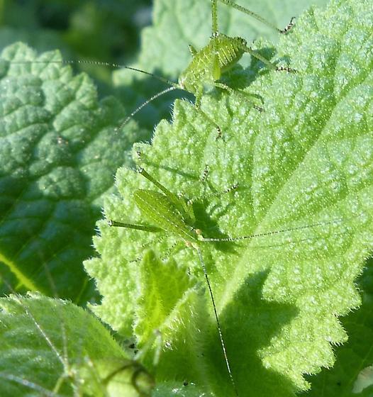 Not aphids? - Phaneroptera nana