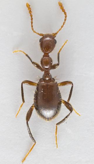 Antlike Flower Beetle - Acanthinus argentinus