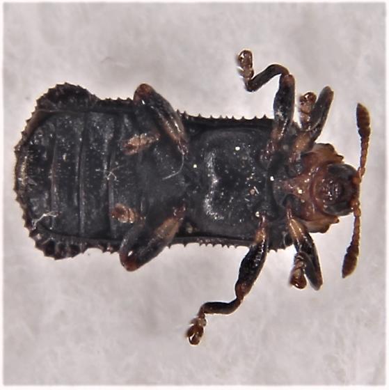 Octotoma plicatula