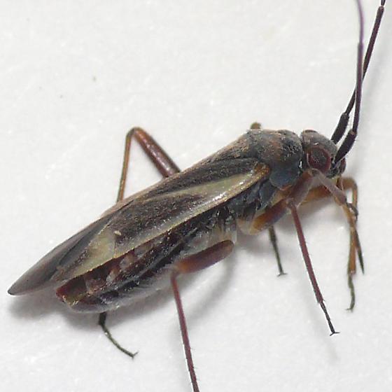 Orthotylus from Oregon (3) 10.07.16 - Orthotylus