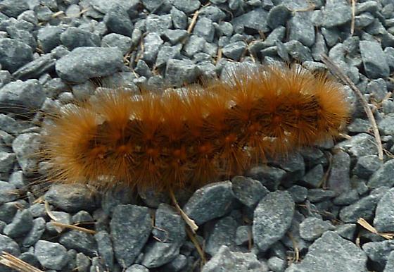 Orange Brown Caterpillar - Estigmene acrea