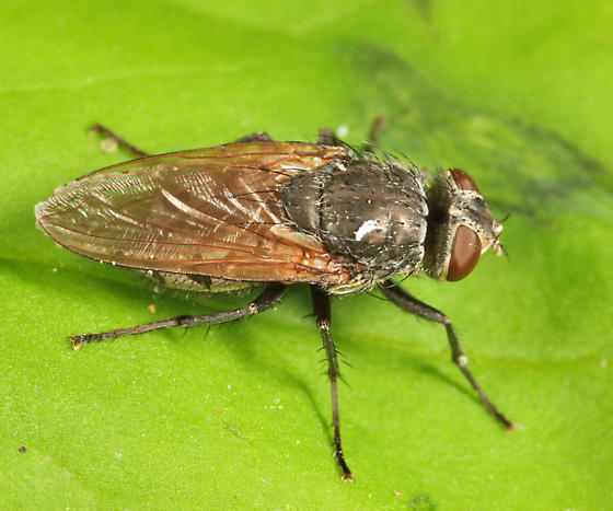 Cluster Fly - Pollenia pediculata - female