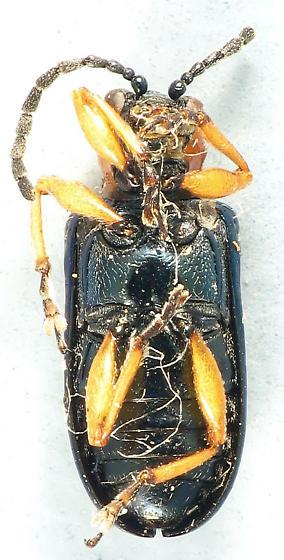 Car leaf beetle - Oulema melanopus