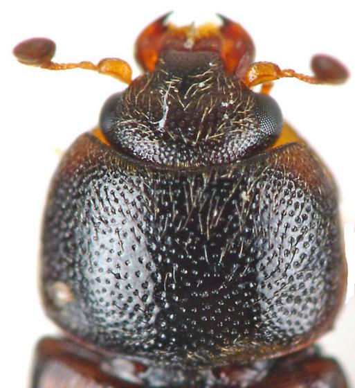 Sap-feeding Beetle - Urophorus humeralis
