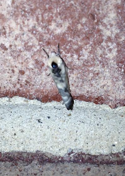Antaeotricha sp. - Antaeotricha