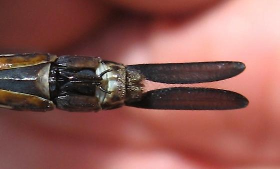 Spatterdock Darner - Rhionaeschna mutata - female