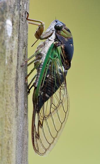 Locust on a post - Neotibicen tibicen