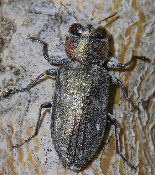 Buprestid - Chrysobothris lateralis