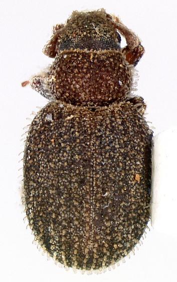 Rhypodillus brevicollis (Horn) - Rhypodillus brevicollis