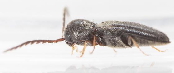Beetle - Microrhagus carinicollis