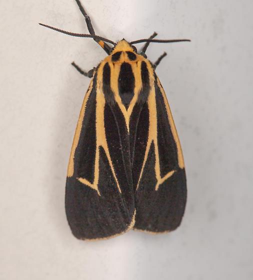 Family Arctiidae - Apantesis carlotta-nais-phalerata-vittata