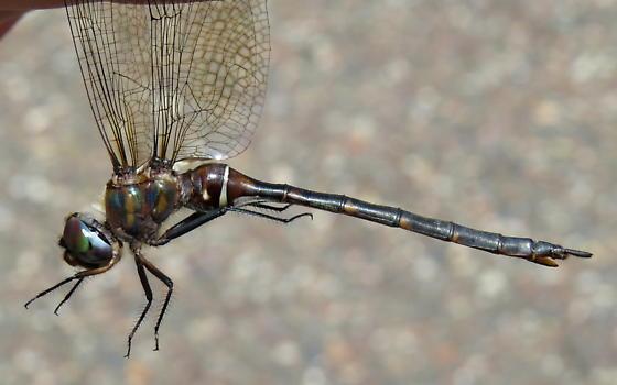 Incurvate Emerald - Somatochlora incurvata - female