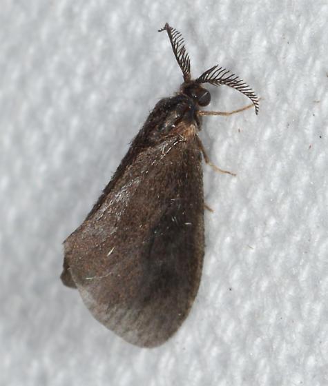 Cryptothelea nigrita - Nigrita Bagworm Moth - Cryptothelea nigrita