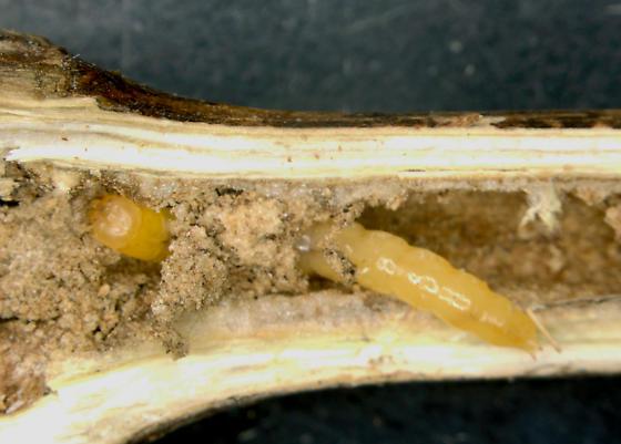Erotylidae, Slender Lizard Beetle larva in Horseweed stem - Acropteroxys gracilis