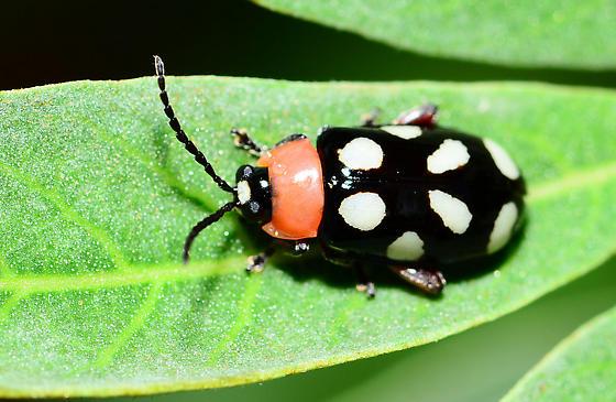 unknown beetle - Omophoita cyanipennis