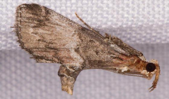 ? Chrysauginae,  to blacklite - Toripalpus trabalis