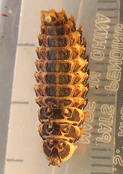 Lycid larvae? - Lycus sanguineus