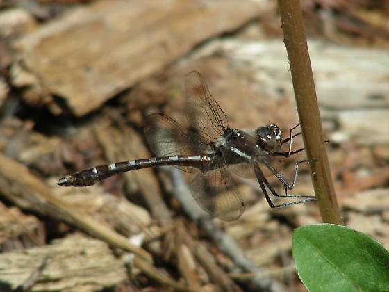Didymops transversa - male