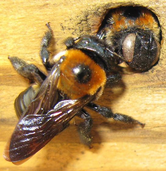 Carpenter bee - Xylocopa virginica
