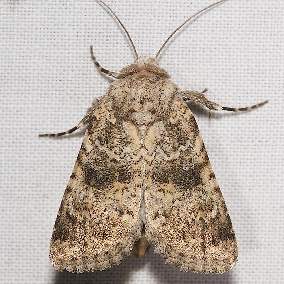9689.96 - Perigea n. sp. - Undescribed Perigea Moth