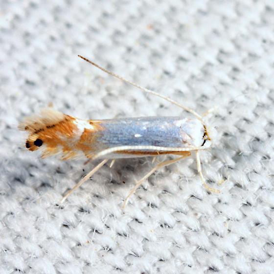 moth - Phyllonorycter argentifimbriella