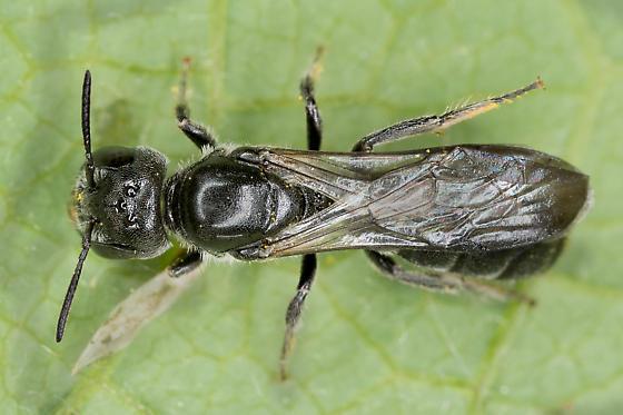 Ant-like Bee - Chelostoma philadelphi? - Chelostoma philadelphi - female