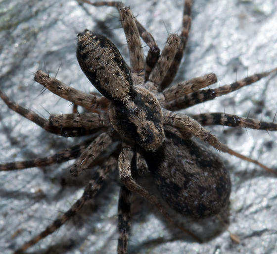 Mating Wolf Spiders - Pardosa - Bugguidenet-3714