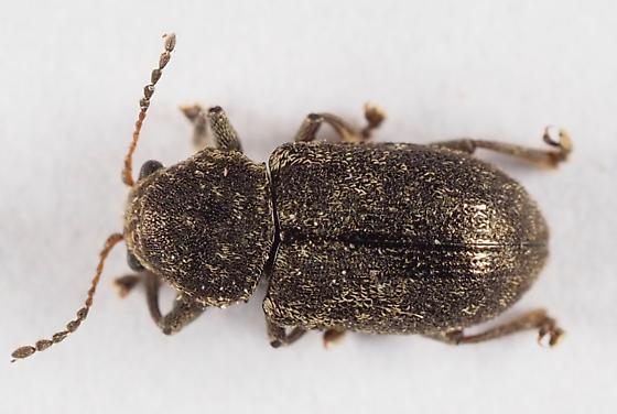 Chrysomelidae? - Myochrous
